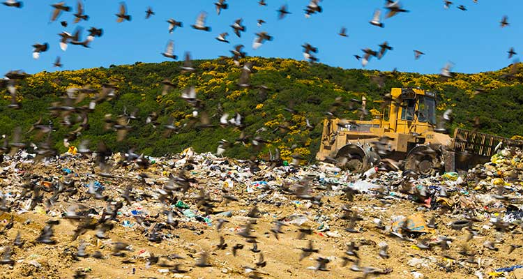 Tractor moving rubbish at landfill with many seagulls.